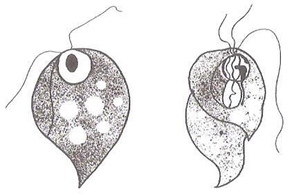 que son las amebas y tipos